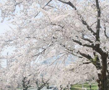 AMR_1729むつの桜.jpg