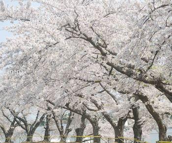 AMR_1746むつの桜.jpg