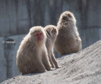 AMR_3673脇野沢の猿.jpg