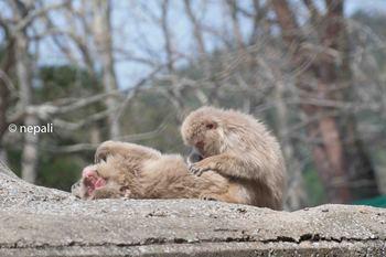 AMR_3706猿の毛づくろい.jpg