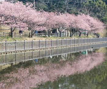 KNG_1554河津桜の映り込み.jpg