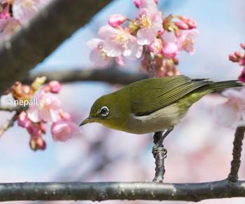 KNG_3411桜メジロ.jpg