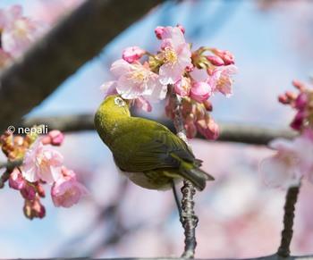 KNG_3420桜メジロ.jpg