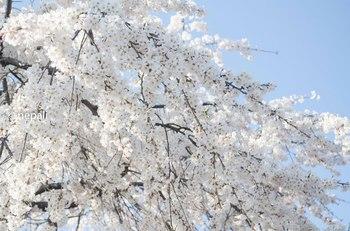NGN_1619桜 ロゴ入り.jpg