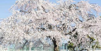 NGN_1636桜 ロゴ入り.jpg